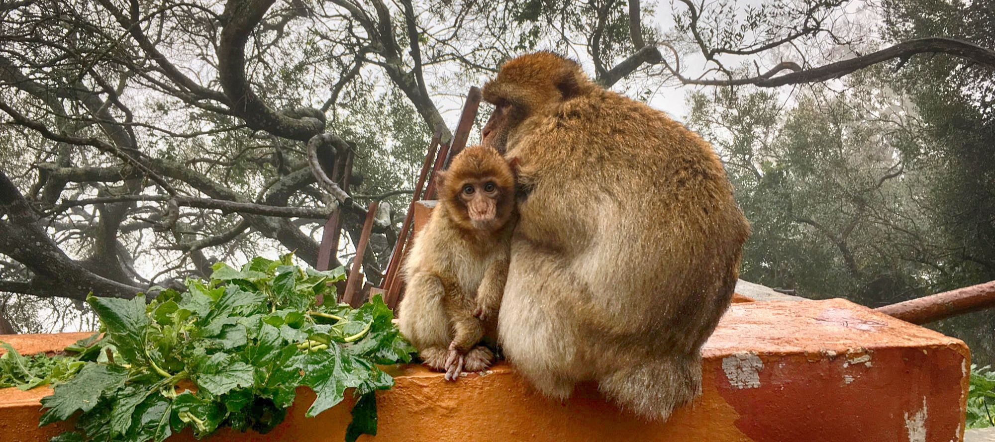 Monkeys on the top of the rock in Gibraltar