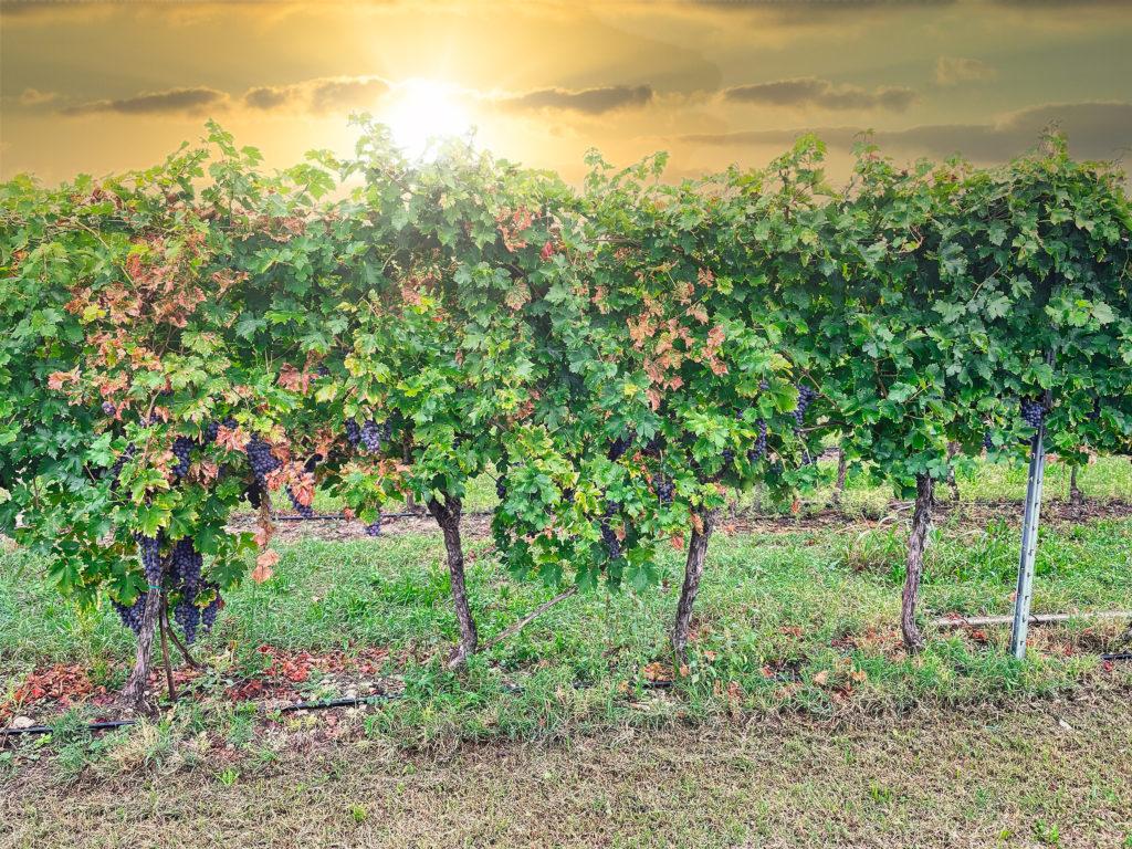 Wineyard Lago di Garda
